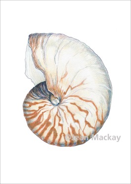 Nautilus. colored pencil. 8x10
