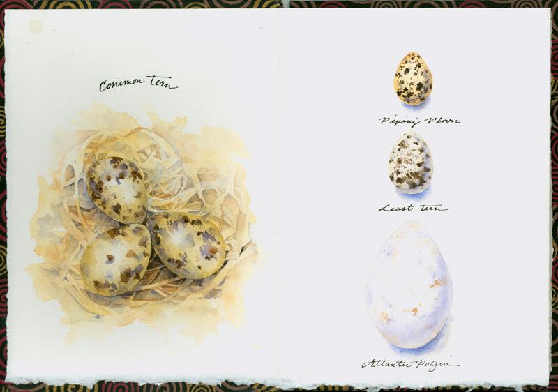 Nest and Eggs (Maine seabirds)
