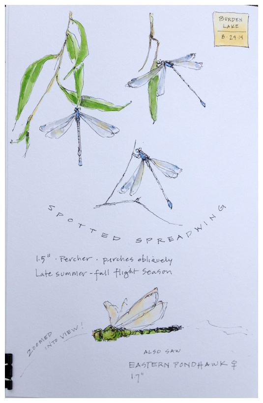 Spreadwing Dragonfly