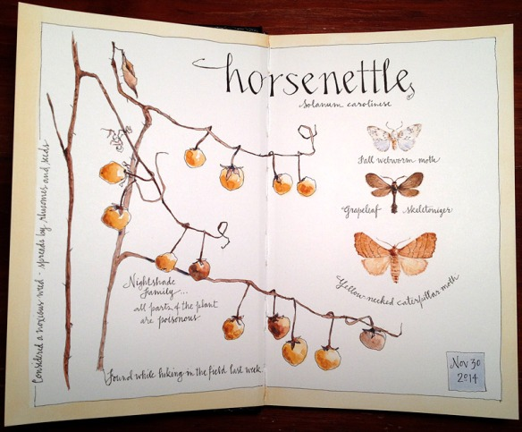 Horsenettle