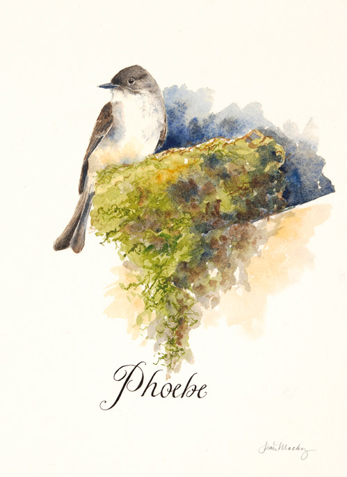 Eastern Phoebe and Nest