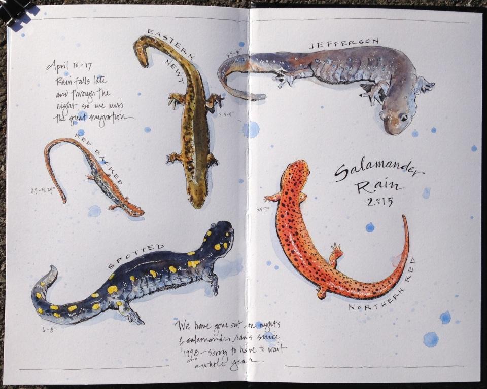 Salamanders 2015
