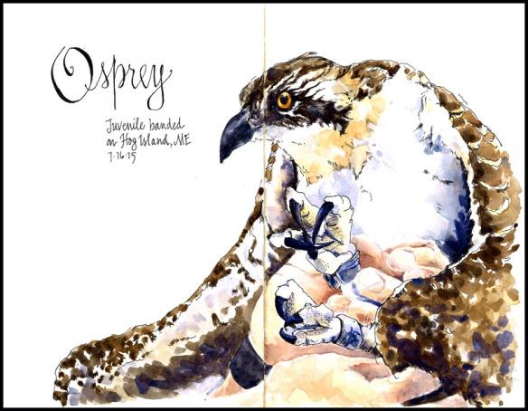 HogIs_Osprey_2015_mackay