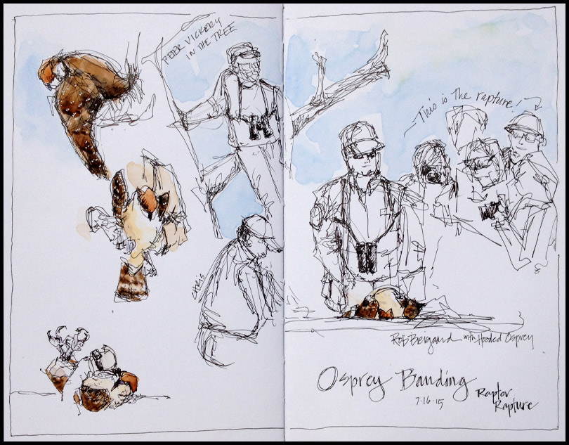 HogIs_OspreyBanding_2015