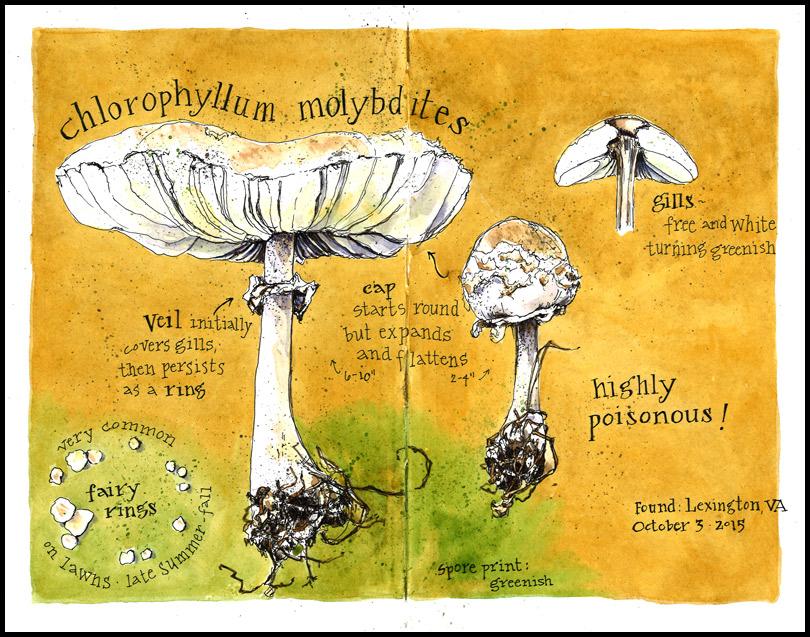 Chlorophyllum_mushroom