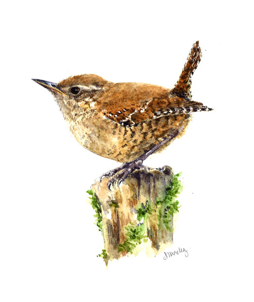 Winter Wren | Drawn In