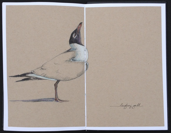 White on toned paper- I did this more careful drawing with pencil, colored pencils on Strathmore 80lb toned tan paper glued into my sketchbook. Toned paper is really great for white subjects like gulls.