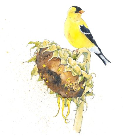 Image result for sunflower bird clip art goldfinch