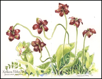 Pitcher Plants in Bloom, JMACKAY