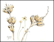 Narrowleaf Yucca