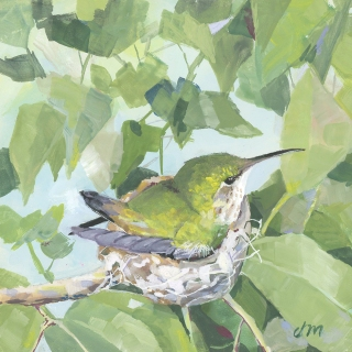 Annas Hummingbird, J. Mackay